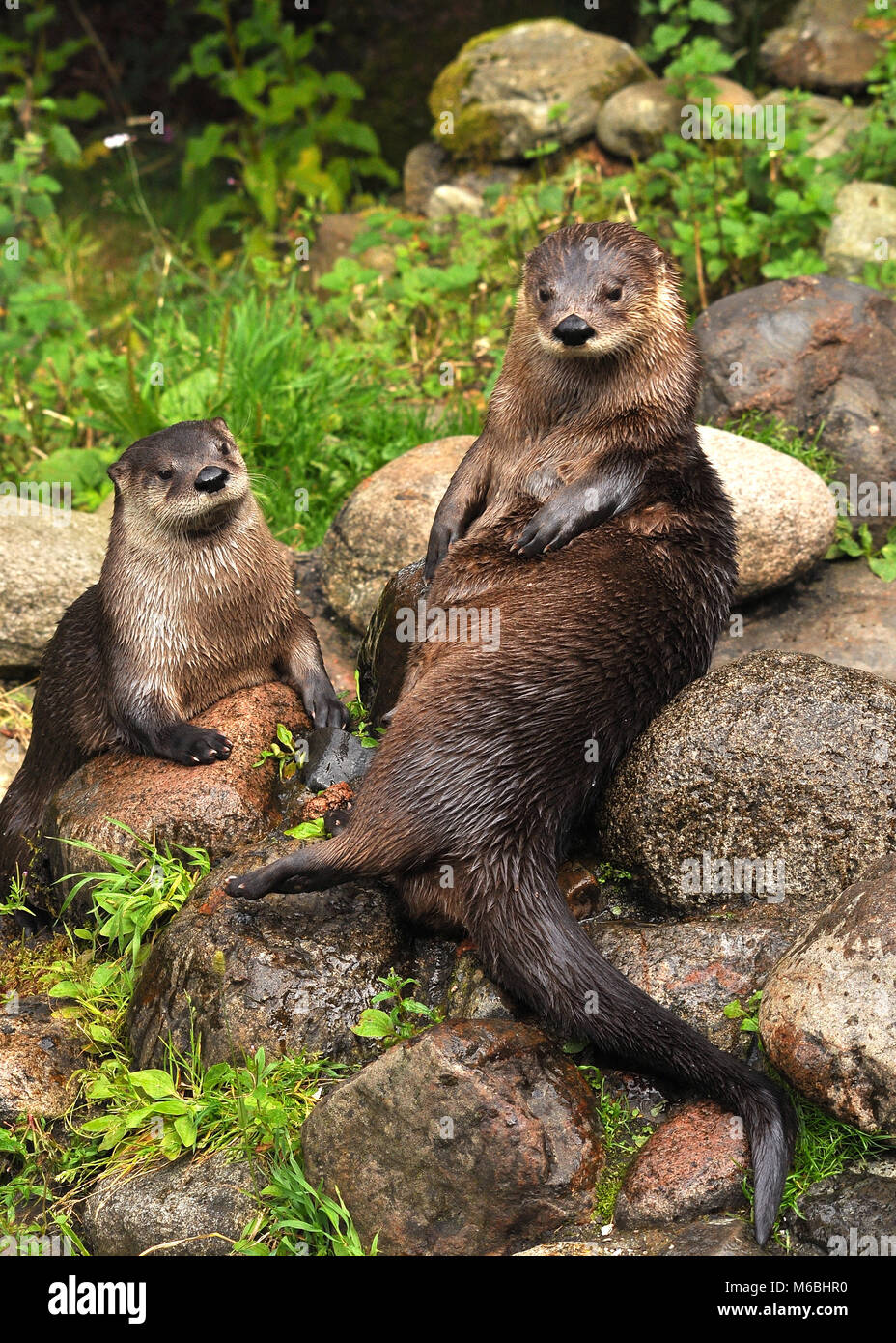 Pair of Eurasian Otters (Lutra lutra) sitting on top of rocks. Highland Wildlife park, Scotland Stock Photo