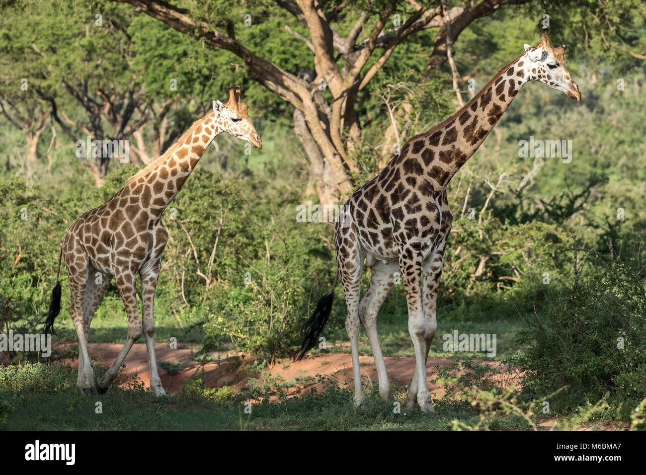 "Male Rothschild's Giraffe, ""Murchison's Falls National Park"", Uganda, Africa Stock Photo"