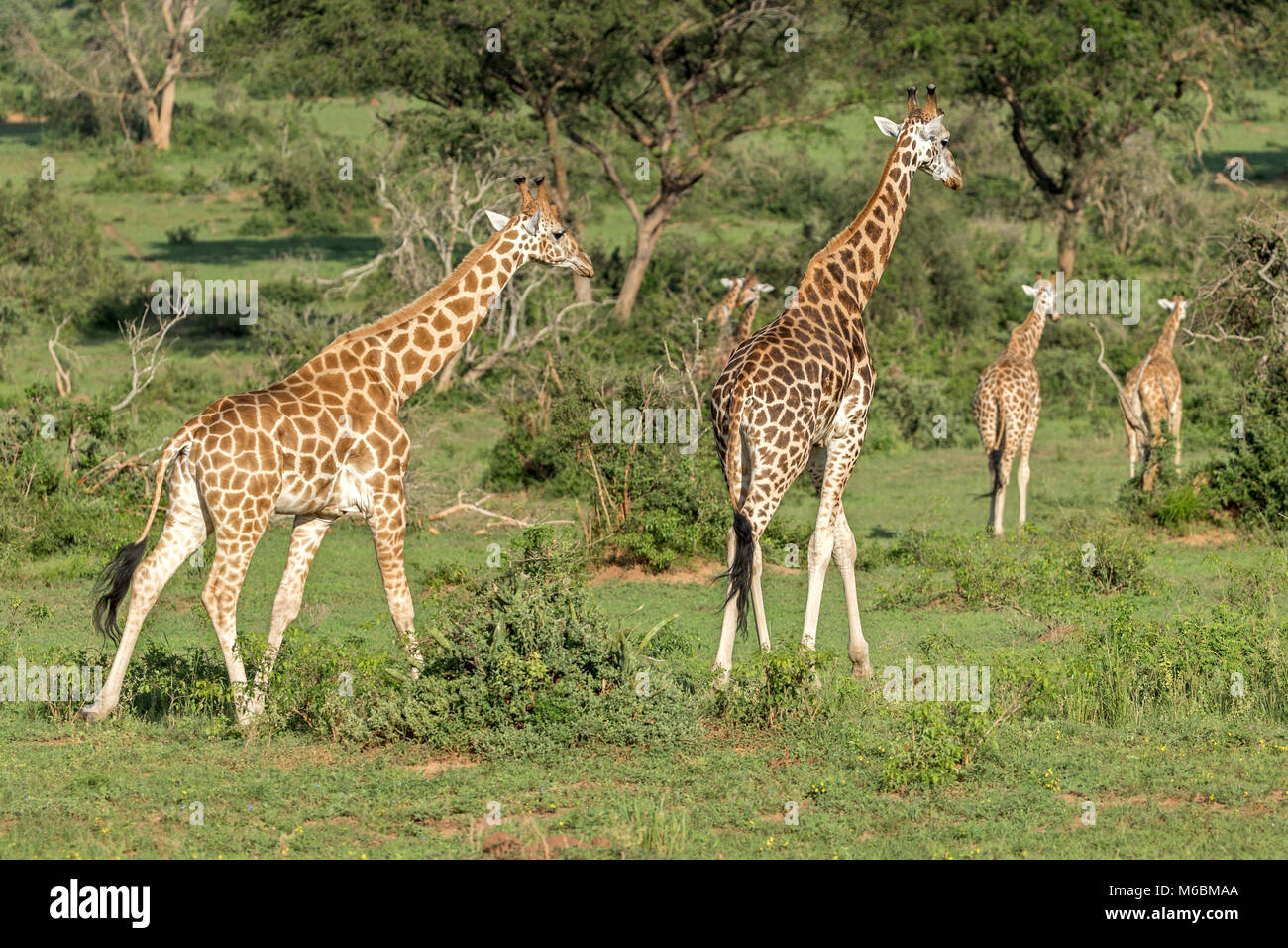 Male Rothschild's Giraffe, 'Murchison's Falls National Park', Uganda, Africa - Stock Image