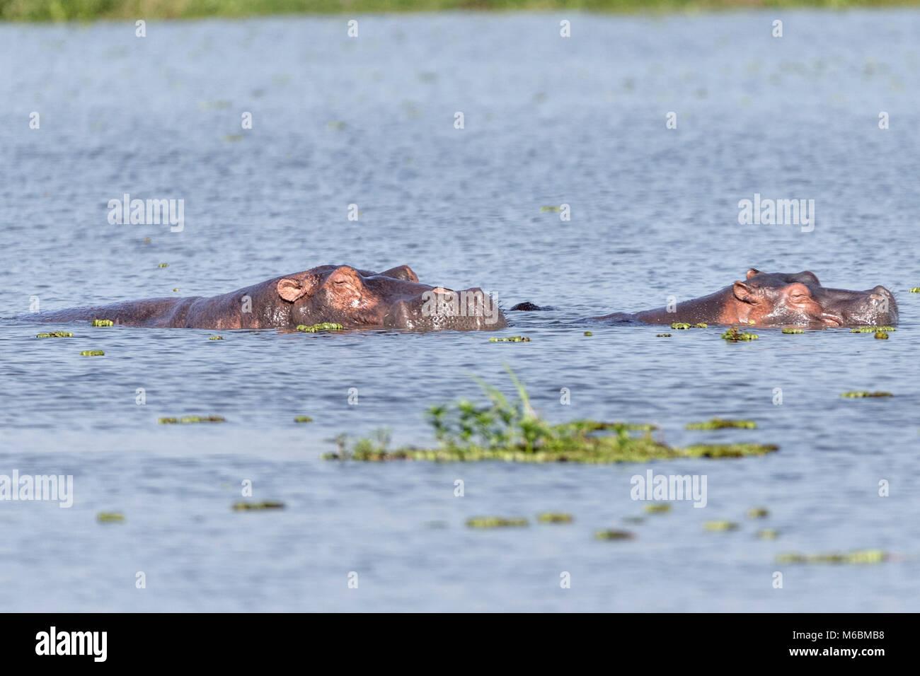 Hippopotamuses sleeping in Lake Victoria ,'Murchison's Falls National Park', Uganda, Africa - Stock Image