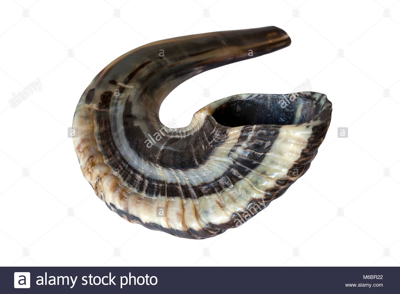 Shofar; a ram's horn trumpet used by the Hebrew people in Israel throughout the Bible - Genuine Ram's Horn - Stock Image
