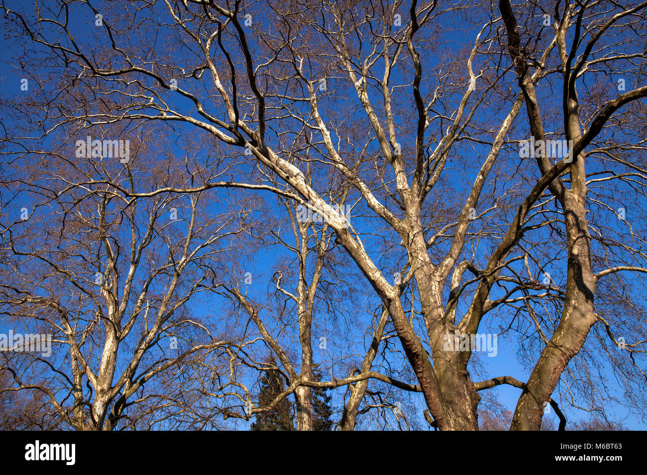 Germany, Cologne, plane trees in the Volksgarden.  Deutschland, Koeln, Platanen im Volksgarten. - Stock Image