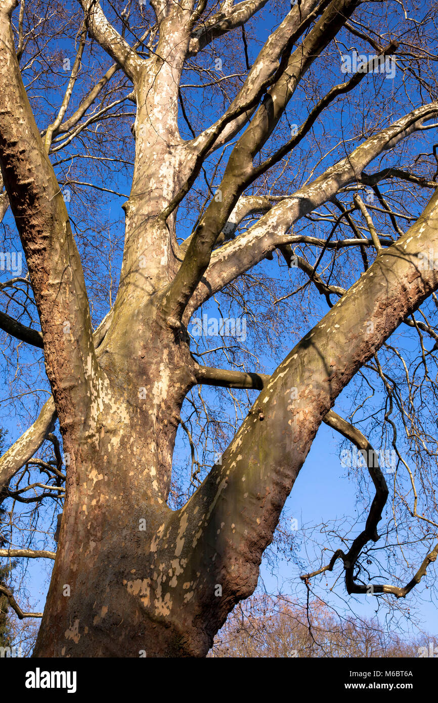 Germany, Cologne, plane tree in the Volksgarden.  Deutschland, Koeln, Platane im Volksgarten. - Stock Image