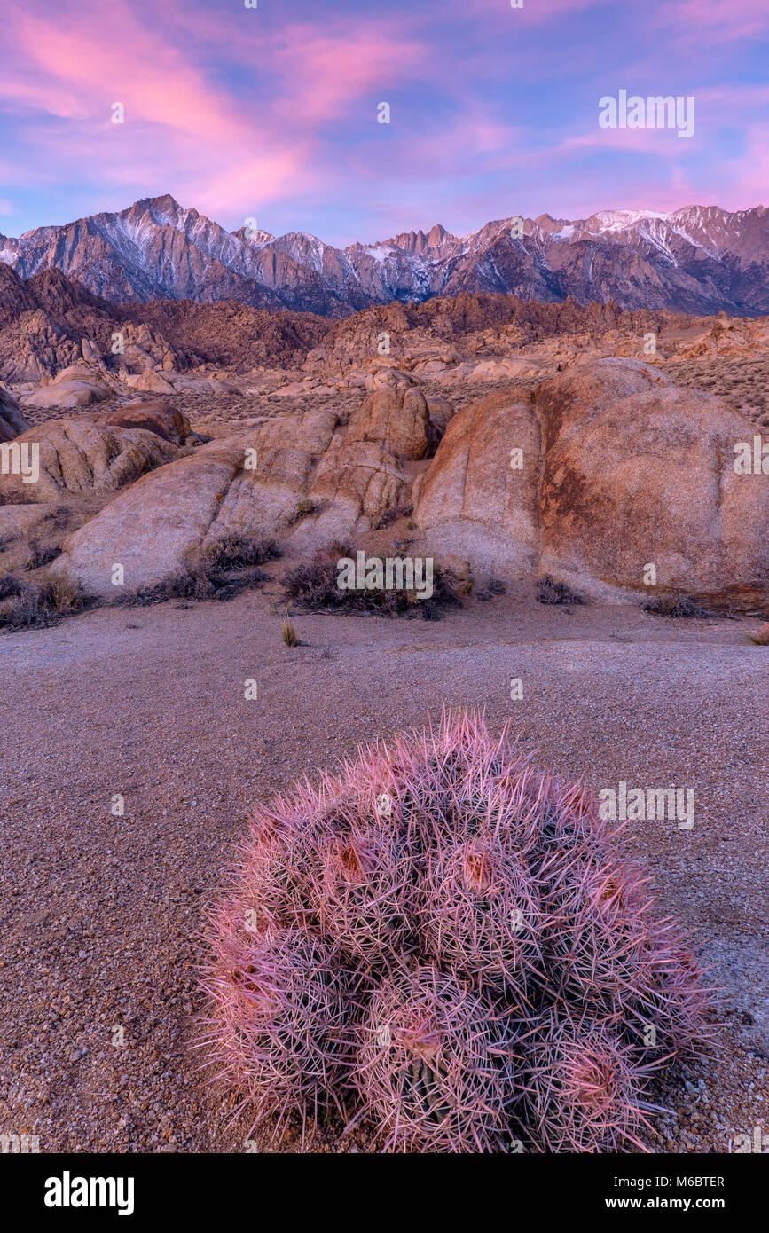 Cottontop Cactus, Echinocactus polycephalus, Alabama Hills, Mount Whitney, Eastern Sierra, Inyo National Forest, - Stock Image