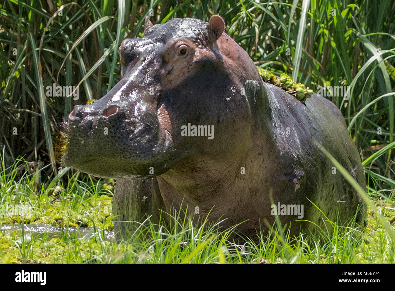 Grazing Hippopotamus (Hippopotamus amphibius) showing sunscreening sweat (aka blood sweat' due to its colour), - Stock Image