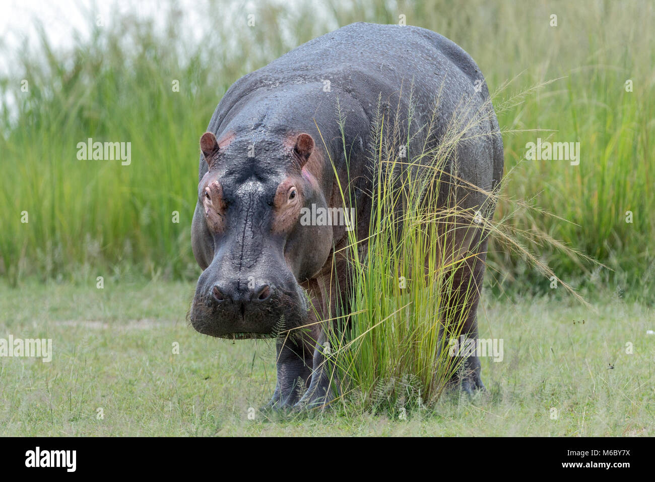 """Grazing Hippopotamus (Hippopotamus amphibius) showing sunscreening sweat (aka blood sweat"""" due to ts colour), Murchison's Stock Photo"""