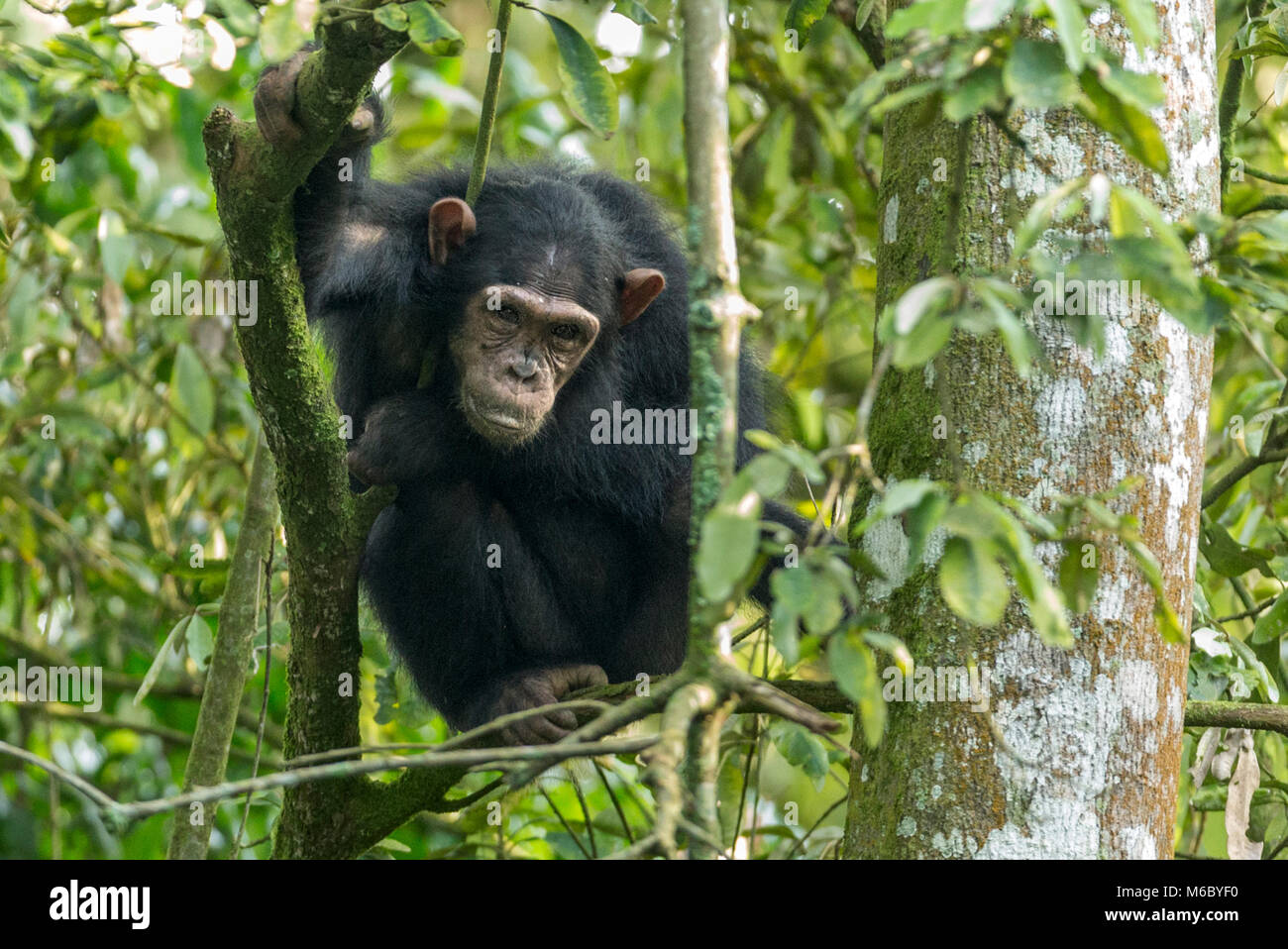 Chimpanzee in tree Kimbale Forest National Park Uganda Africa - Stock Image