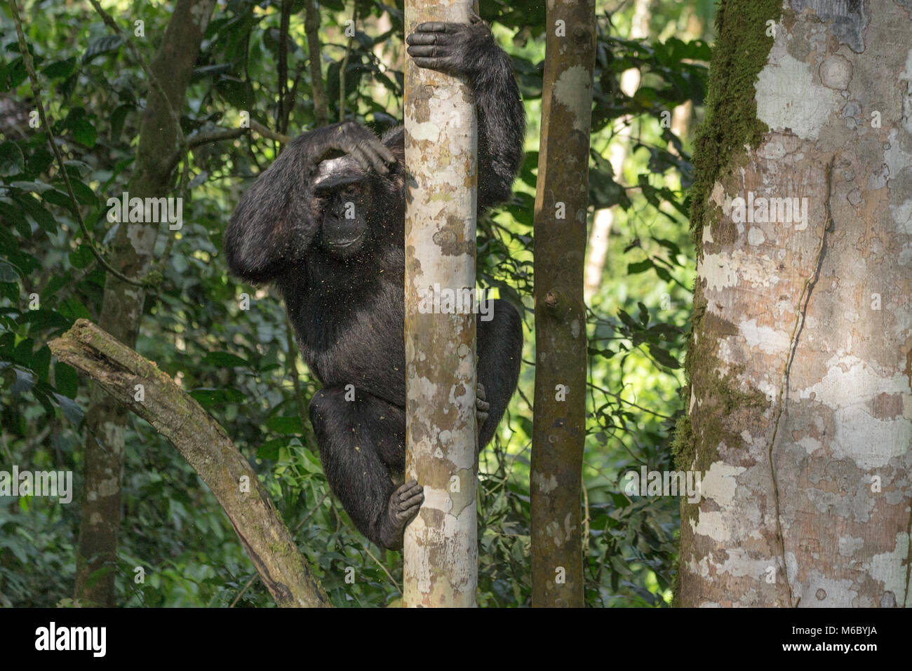 Alpha male climbing down tree Chimpanzee Kimbale Forest National Park Uganda Africa - Stock Image