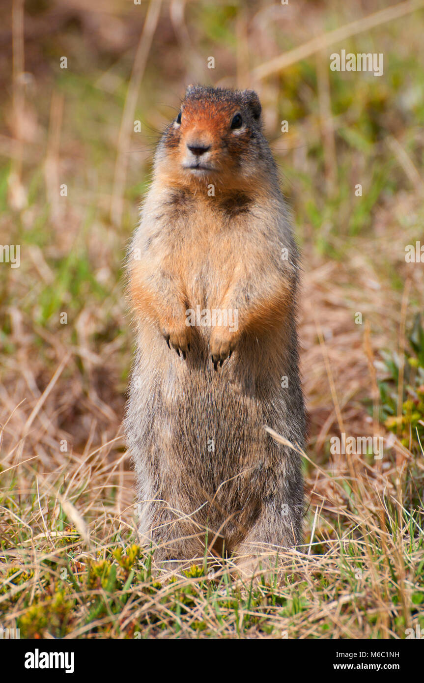 Ground squirrel in Larch Valley, Banff National Park, Alberta, Canada Stock Photo