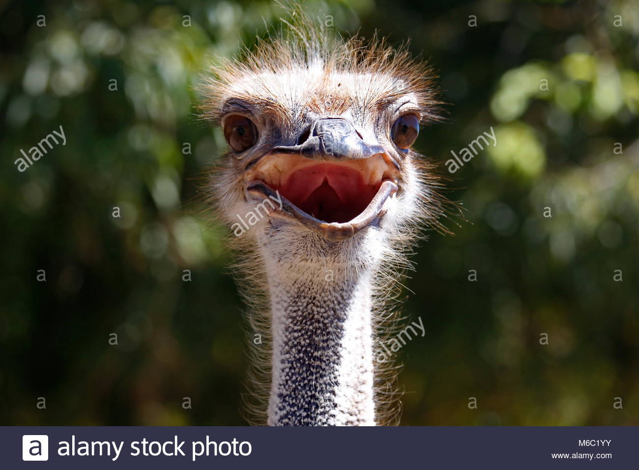 The ostrich is a large, flightless bird native to Australia with a gawky, amusing stare which seems sometimes a - Stock Image