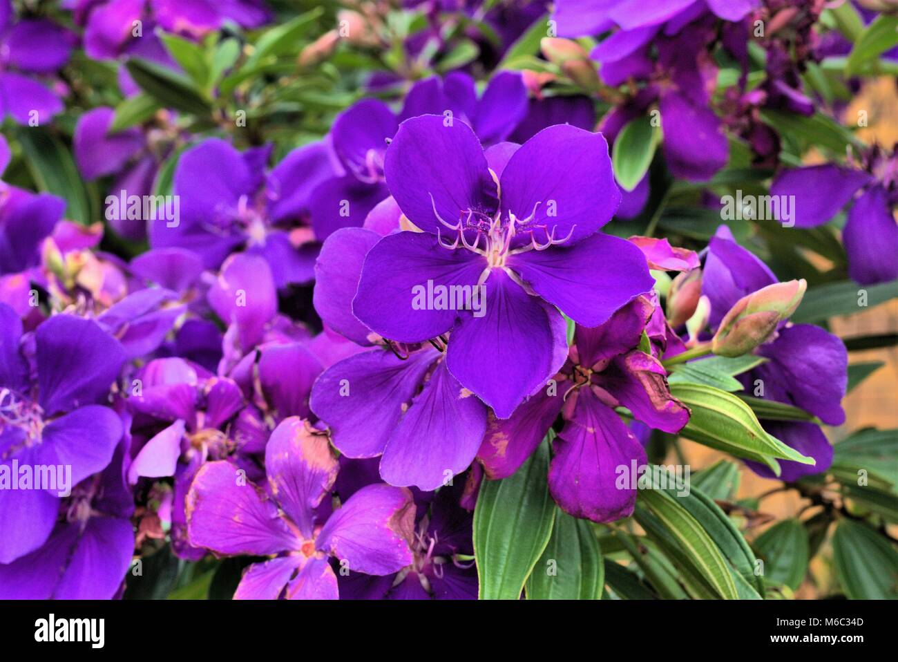 Tibouchinas flower or purple glory tree flower . Scientific name: Tibouchina granulosa. Other names are princess - Stock Image