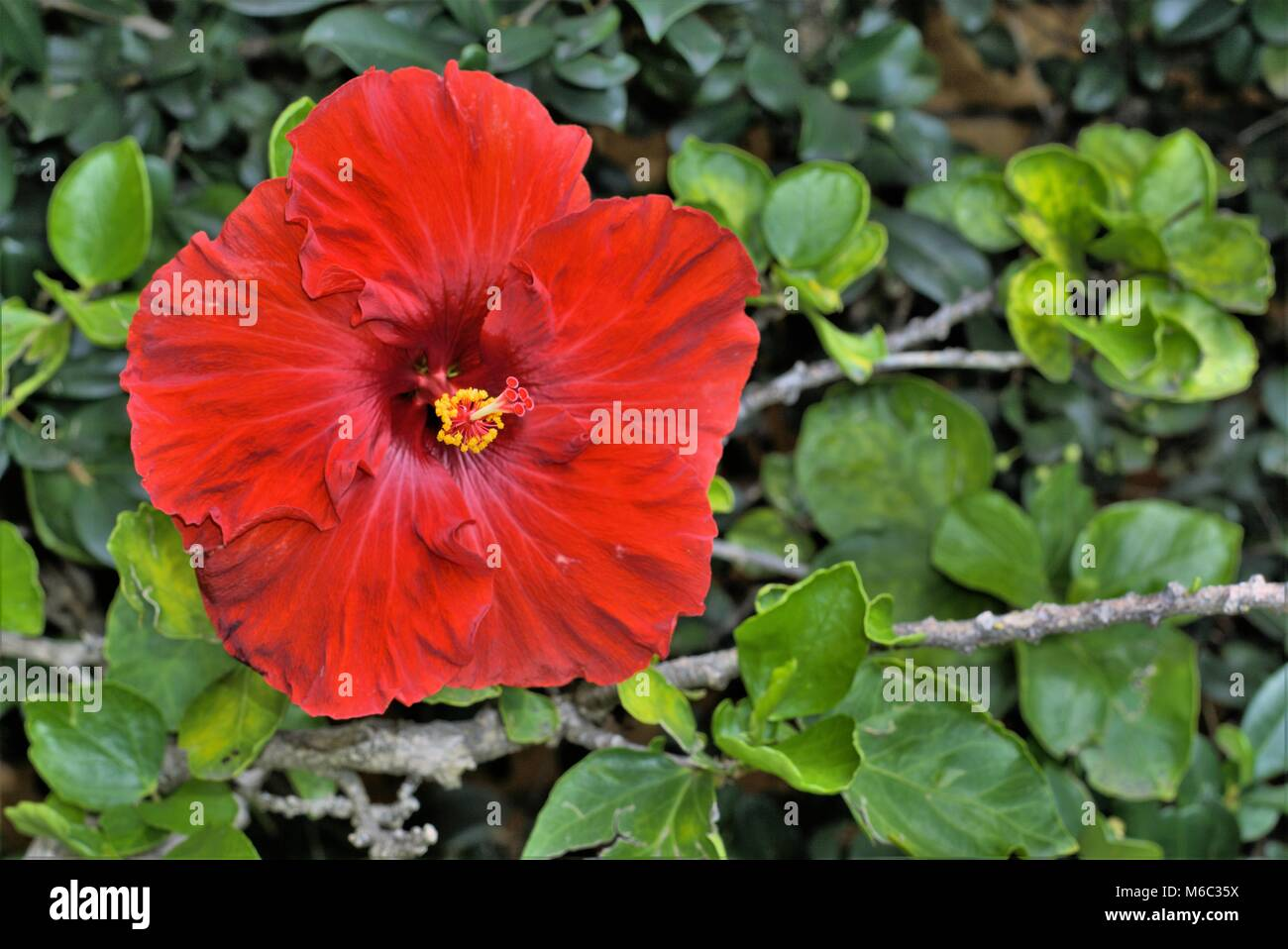 Hibiscus Flower In Australia Bright Red Hibiscus Or Hibiscus Stock