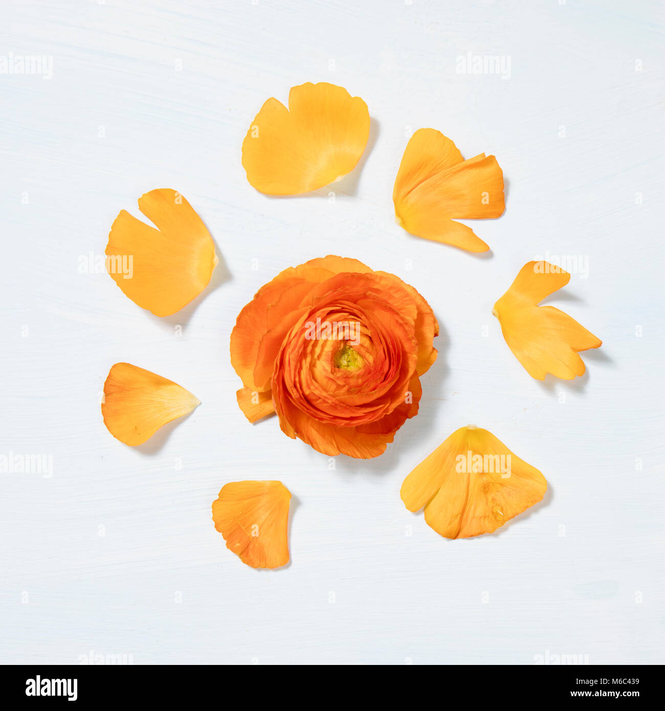 Ranunculus flower head with petals , extreme close-up Stock Photo