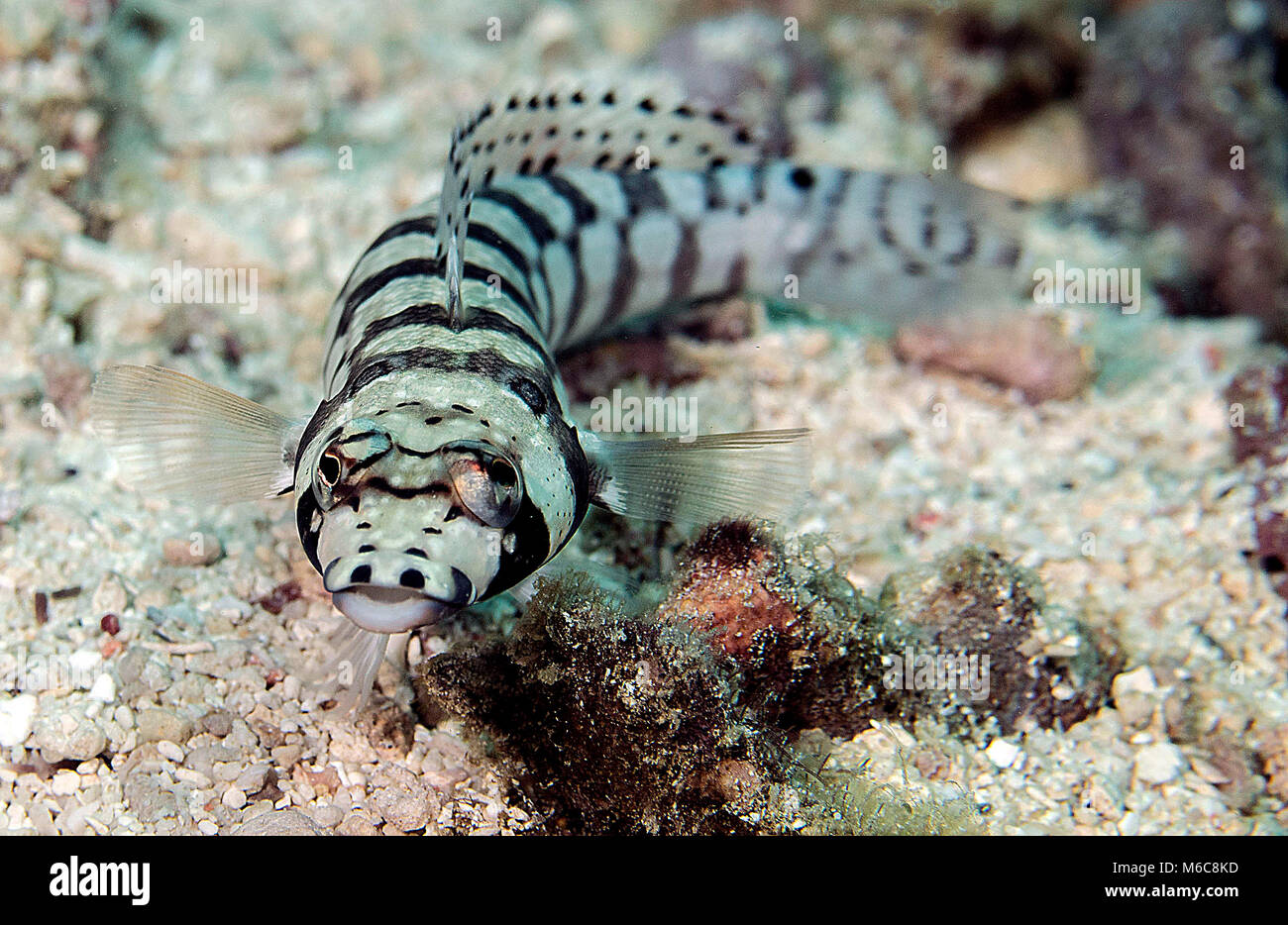Sand perches (Pinguipedidae). Picture was taken in Moalboal, Philippines - Stock Image