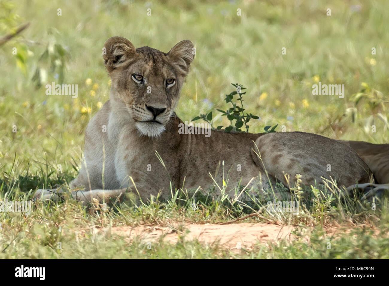 Lioness 'Murchison's Falls National Park', Uganda, Africa - Stock Image
