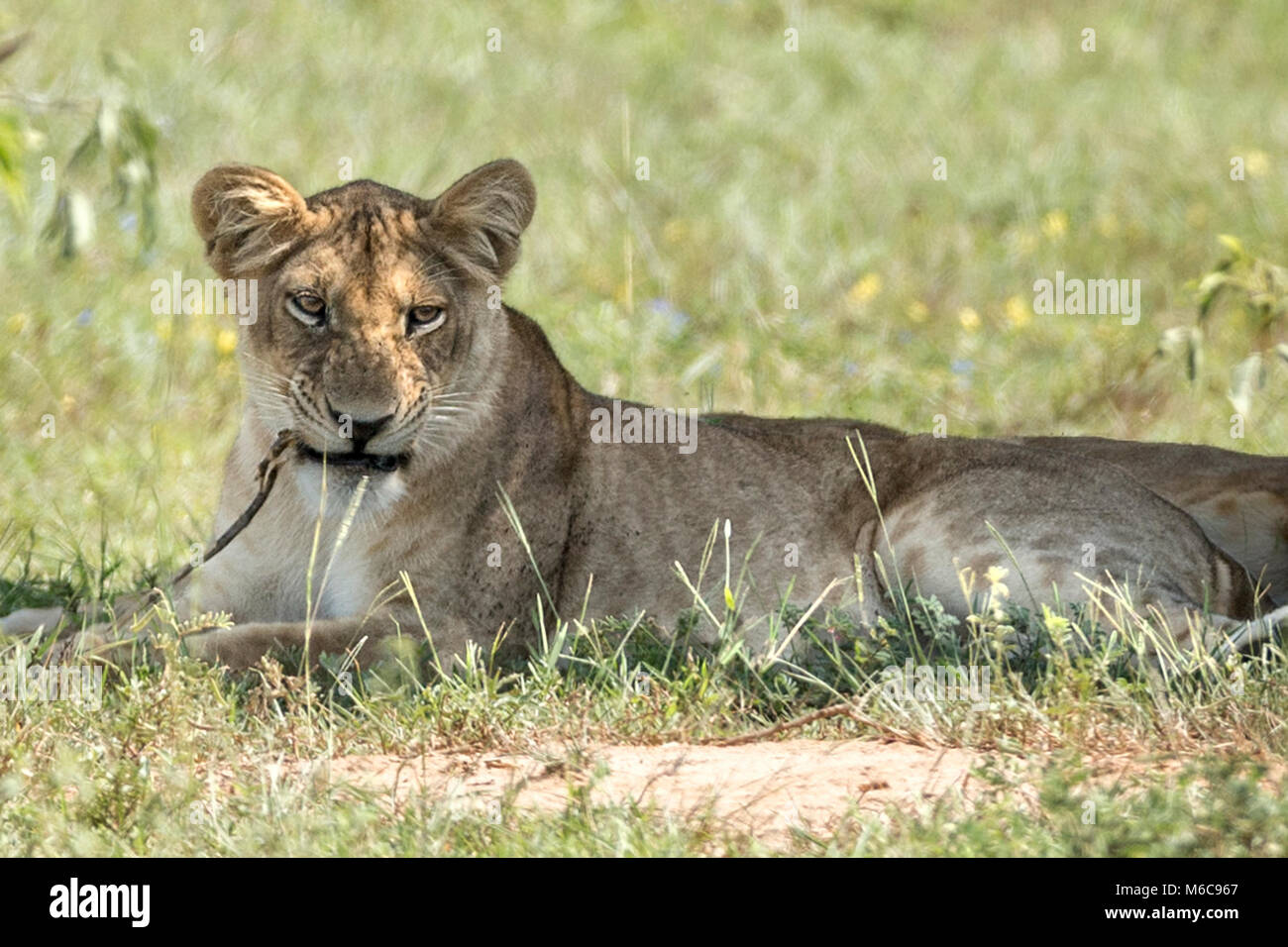 Lioness 'Murchison's Falls National Park', Uganda, Africa. Chewing on a twig - Stock Image