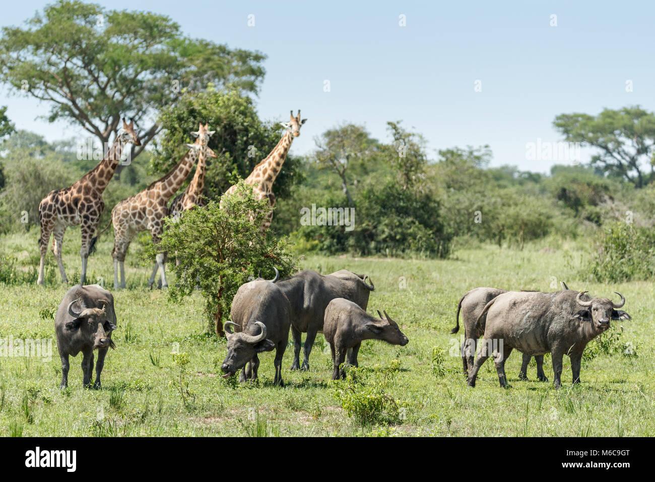 Rothschild's giraffe (Giraffa camelopardalis rothschildi) African buffalo or Cape buffalo (Syncerus caffer) - Stock Image