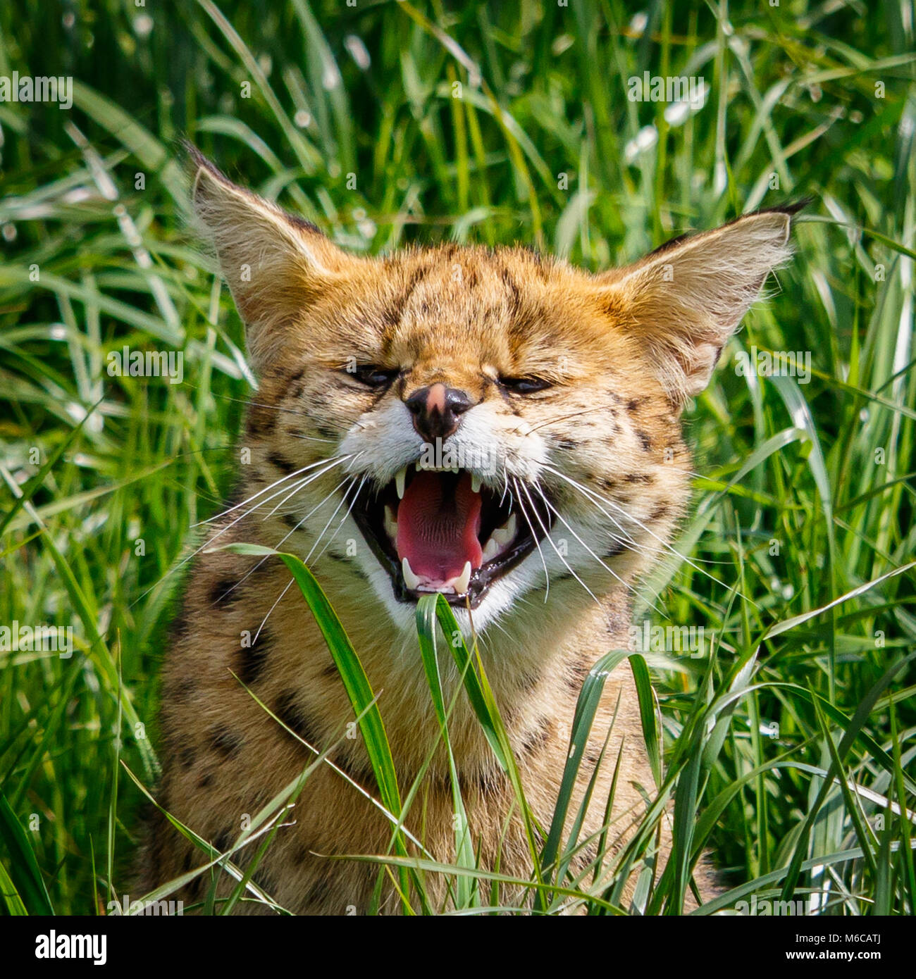 Bad tempered Serval snarling in grass - Stock Image
