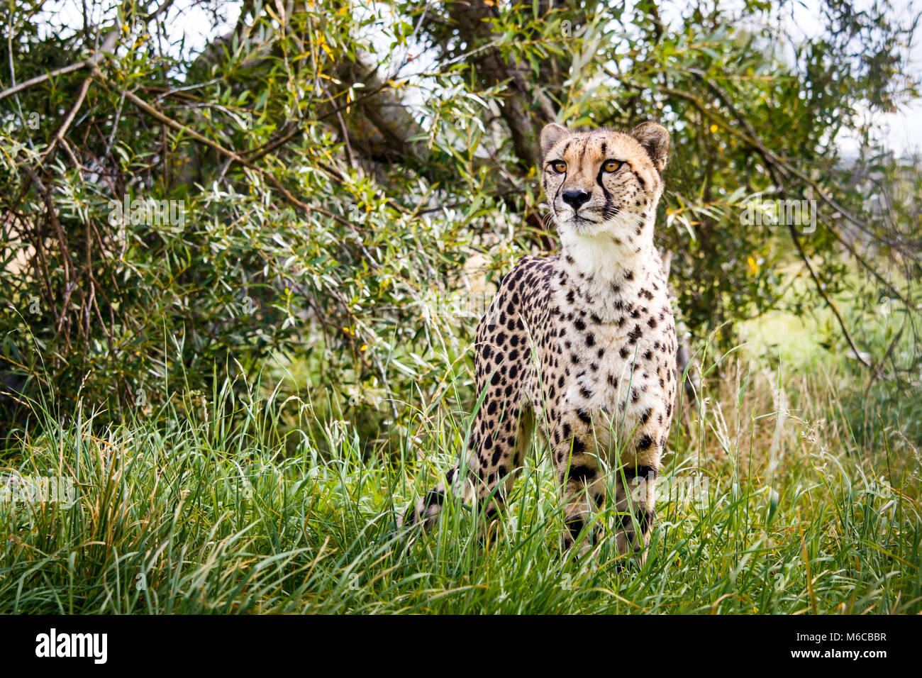 Cheetah standing tall in grass with tree background - Stock Image
