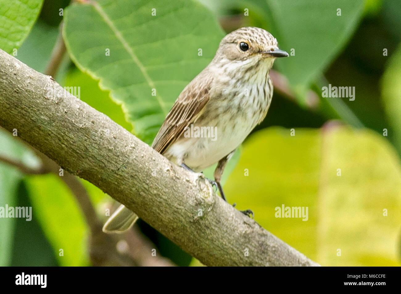 Immature, African grey flycatcher, grayish flycatcher, or large flycatcher (Melaenornis microrhynchus) Queen Elizabeth - Stock Image