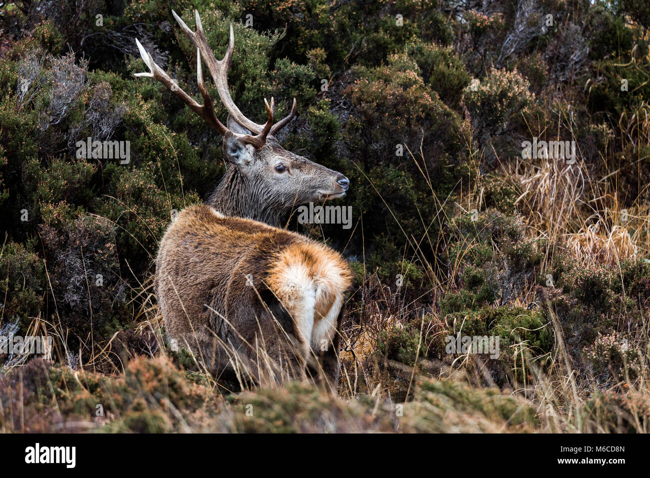 Red Deer stag, Applecross, Scotland - Stock Image