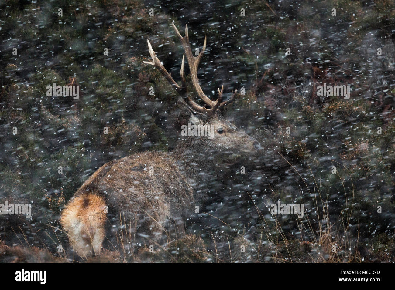 Red Deer stag in snow, Applecross, Scotland. - Stock Image