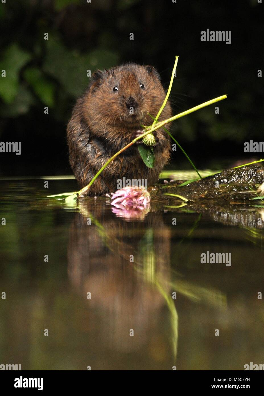 A beautiful water vole captured in the UK eating some flora and clover. - Stock Image