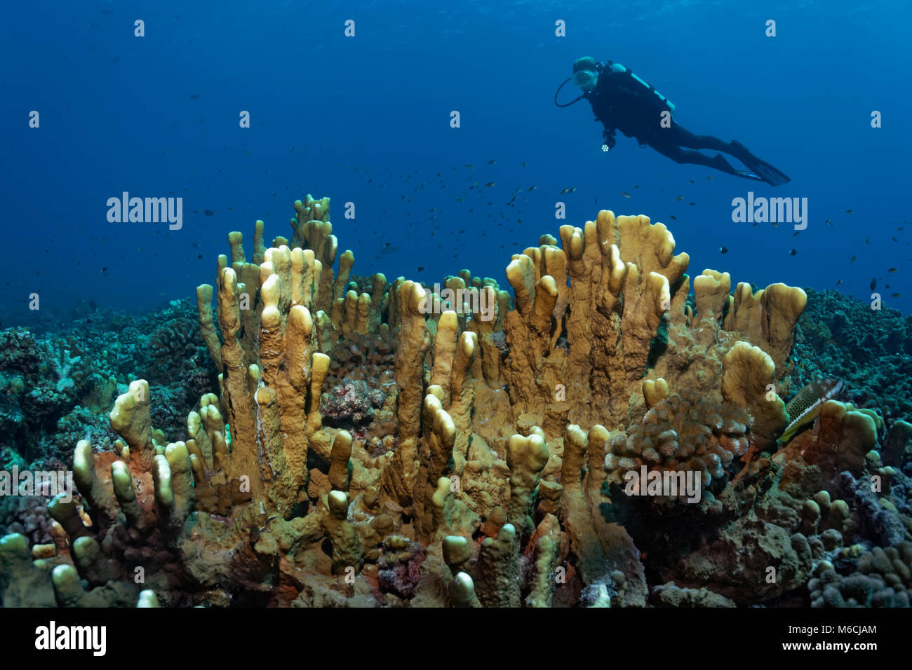 Divers over Blade firel coral (Millepora platyphylla), Pacific, French Polynesia - Stock Image