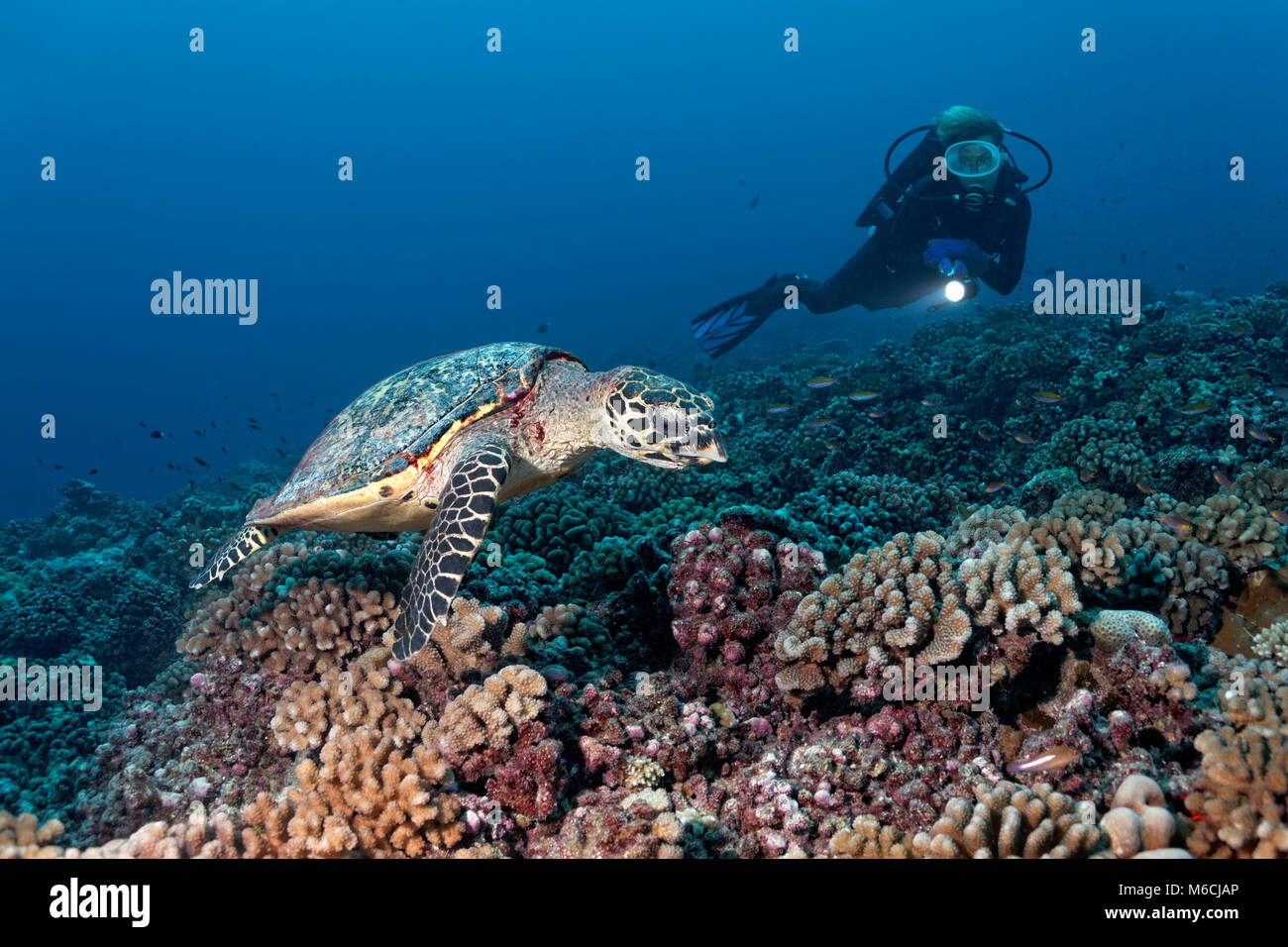 Diver observes Green Sea Turtle (Chelonia mydas) over coral reef with bush corals (Pocillopora), Pacific Ocean, Stock Photo
