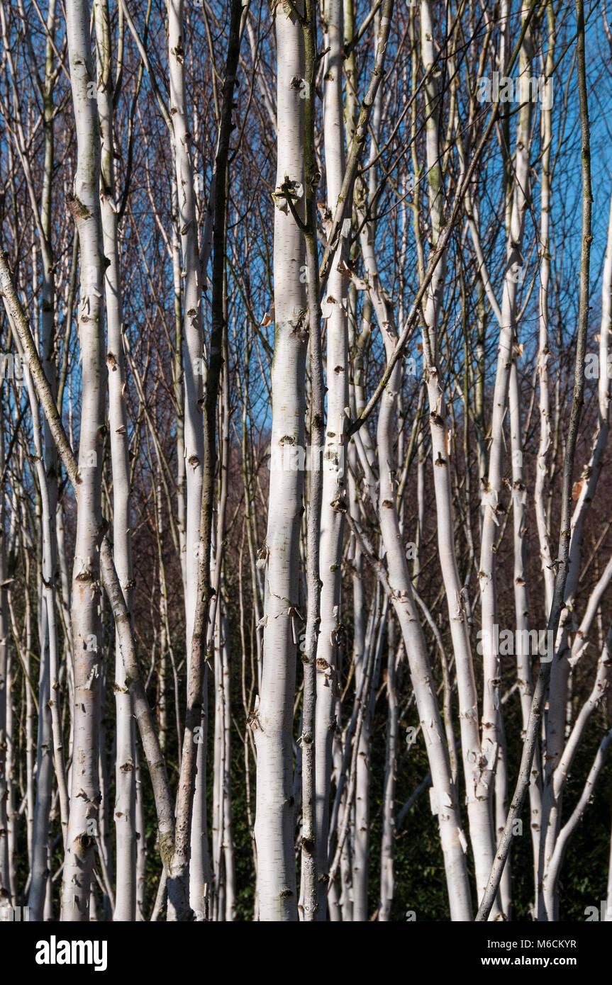 Betula Utilis Jacquemontii Himalayan Birch Stock Photos Betula