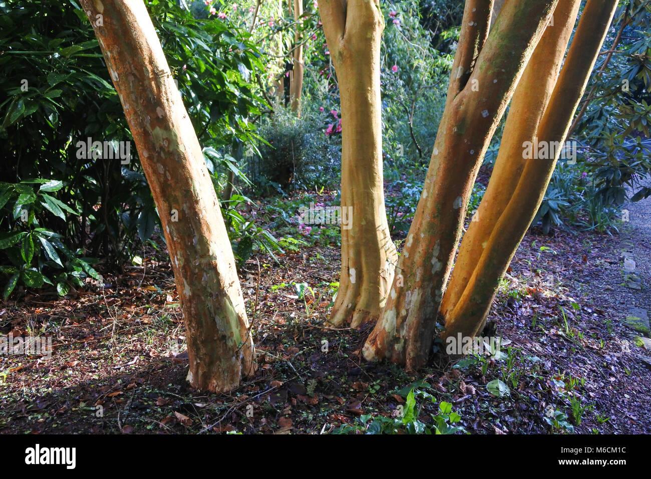 The stems of Myrtus Luma bathed in winter sunlight - John Gollop - Stock Image