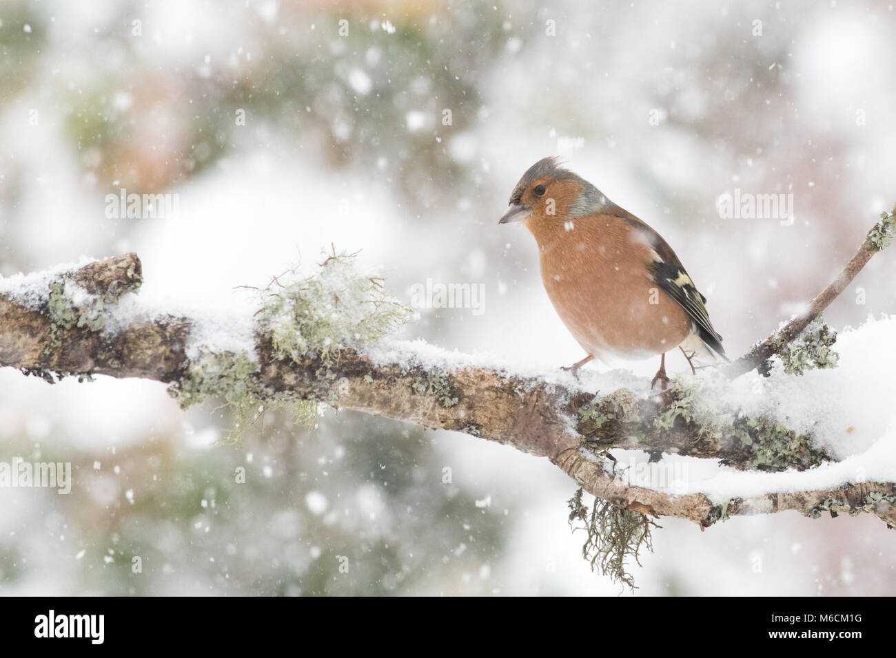 Chaffinch (male) in winter - Stock Image