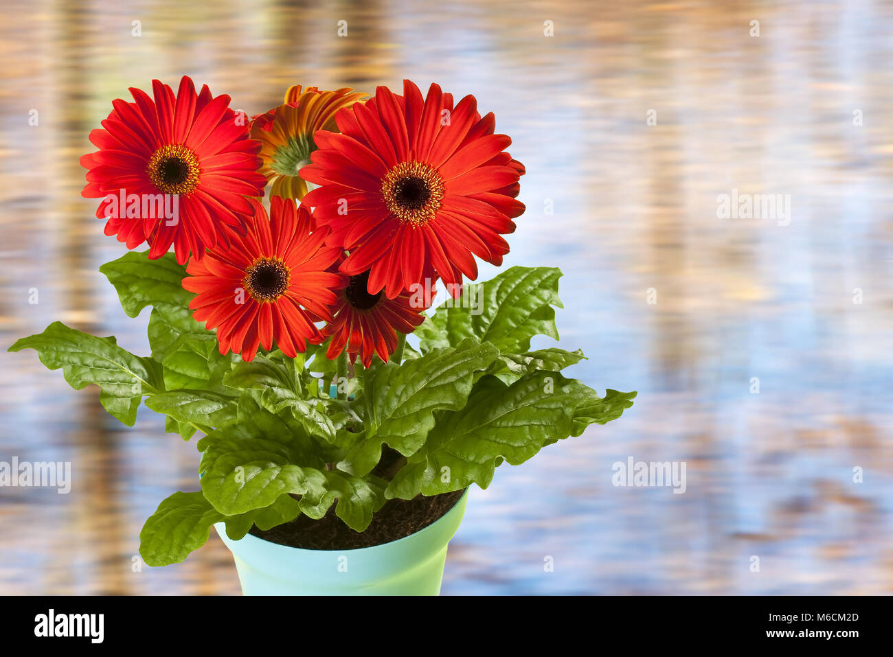 Red Gerbera in the Planter on the Unfocused Background - Stock Image