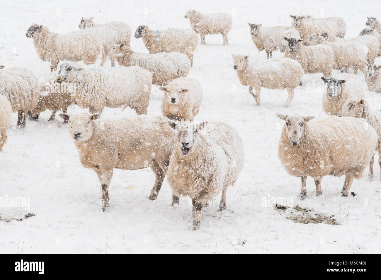Sheep in snow - Scotland, UK - Stock Image
