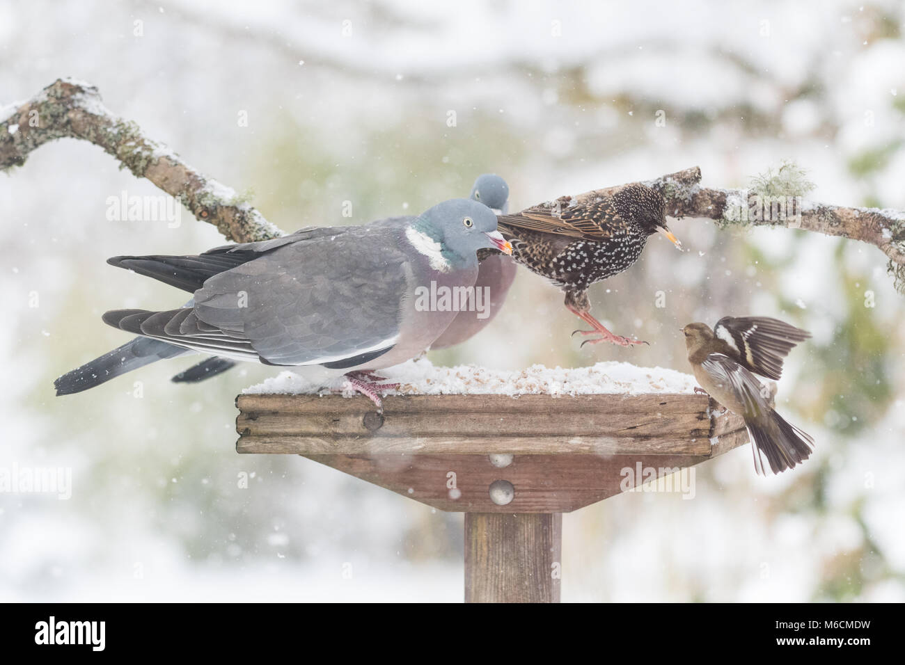 UK garden birds on busy garden bird table in winter - Stock Image