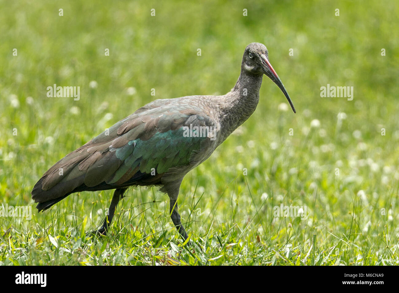 Hadada or hadeda ibis (Bostrychia hagedash) Bigodi Wetland Sanctuary Kamwenge District, Uganda, Africa - Stock Image
