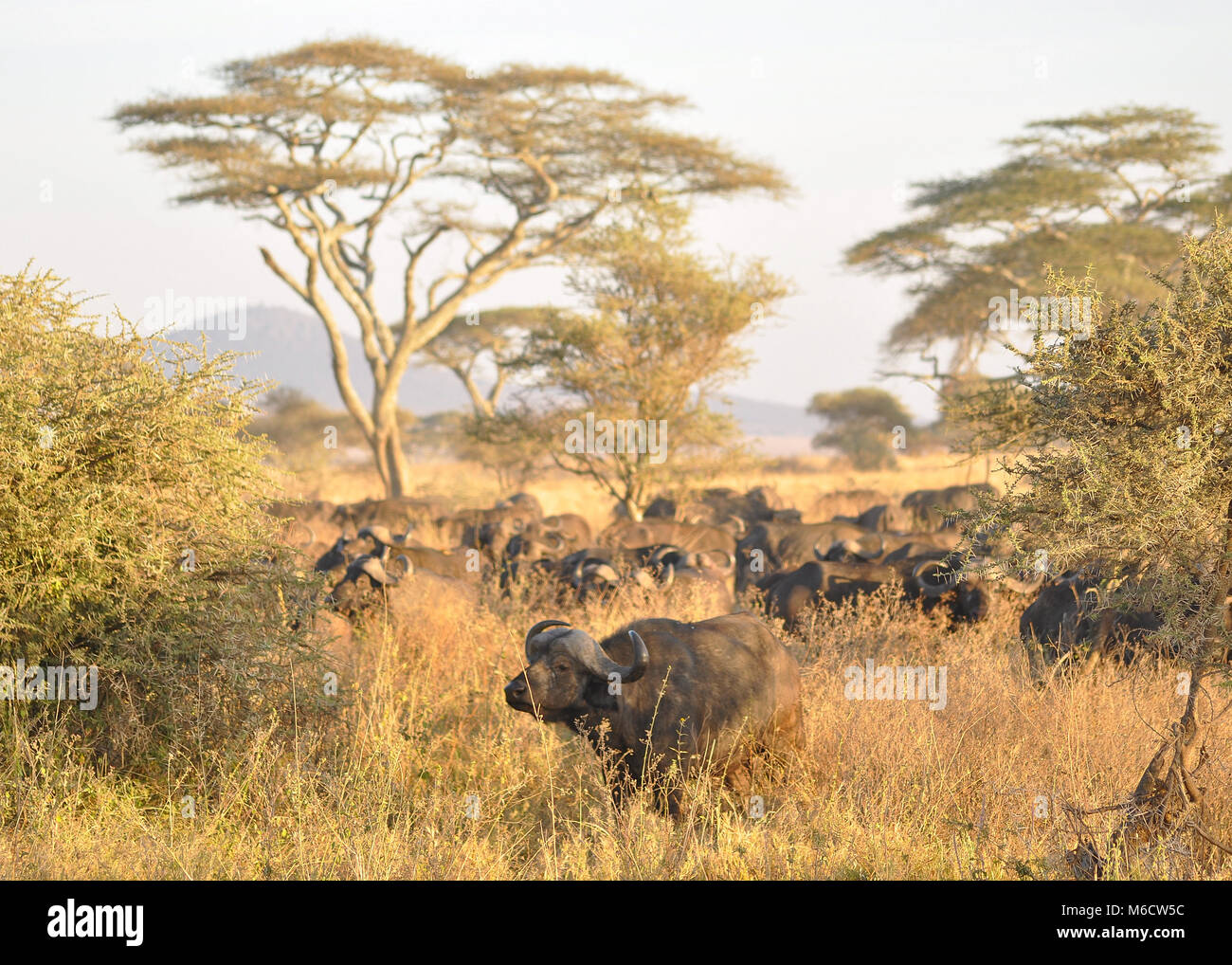 A herd of African Buffalo (Syncerus caffer) grazing within the Savannah plains of the Serengeti national park, Tanzania - Stock Image