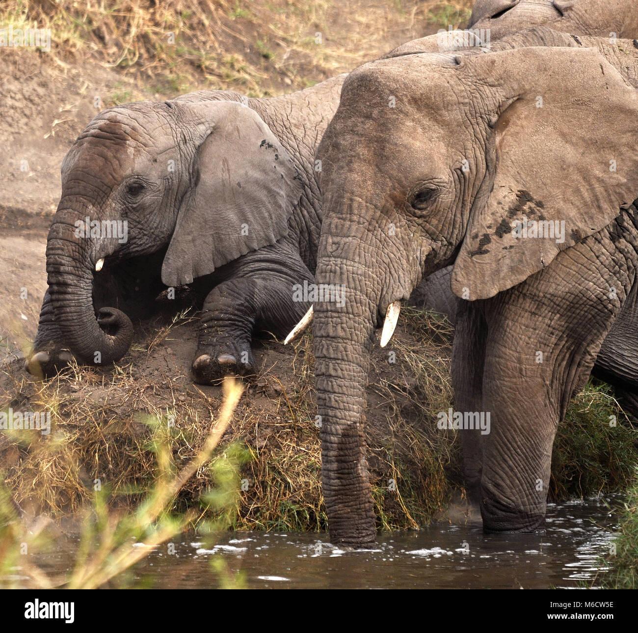 Mother and baby bush Elephants (Loxodonta africana). Serengeti National Park, Tanzania. - Stock Image