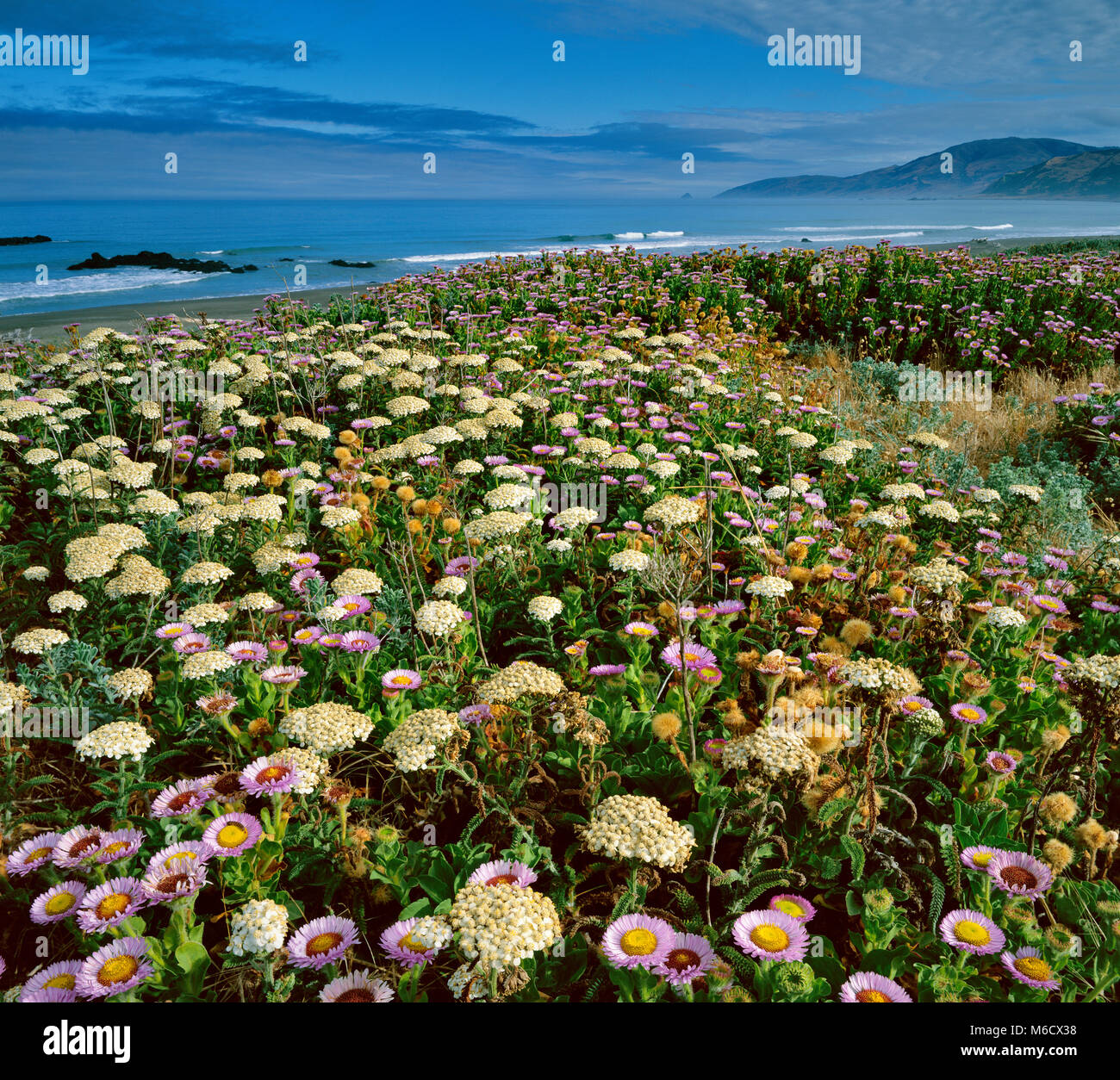 Angelica, Angelica californica, Asters, Erigeron glaucus, Mattole Beach, King Range National Conservation Area, - Stock Image
