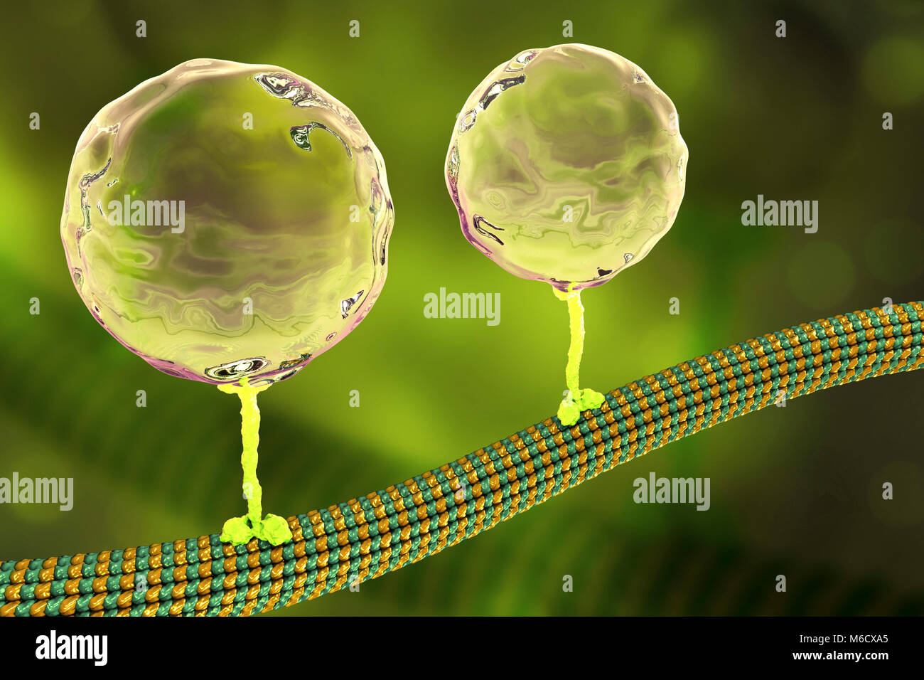 Intracellular transport. Computer illustration of vesicles (spheres) being transported along a microtubule by a Stock Photo