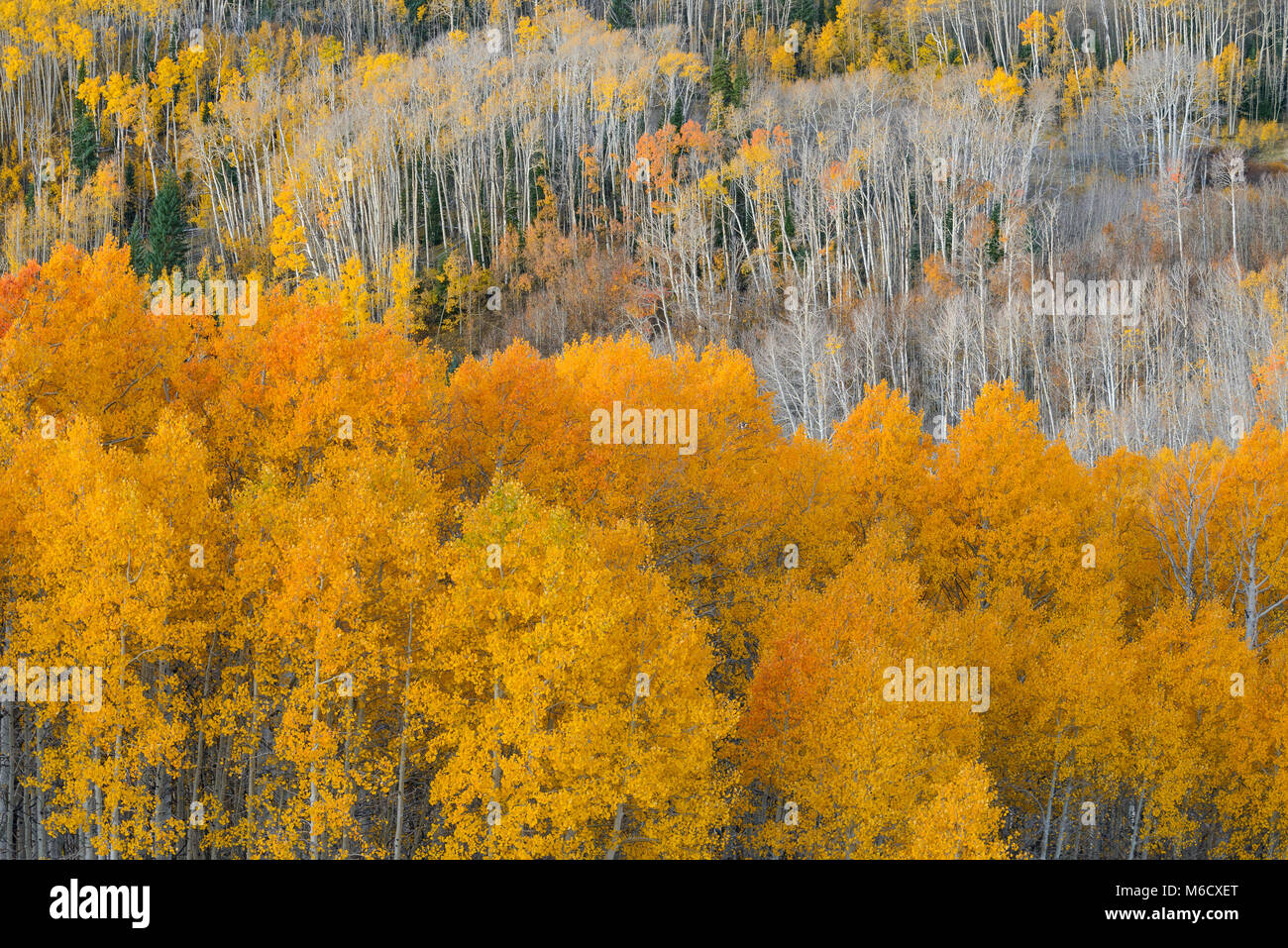 Aspen, Boulder Mountain, Dixie National Forest, Utah - Stock Image