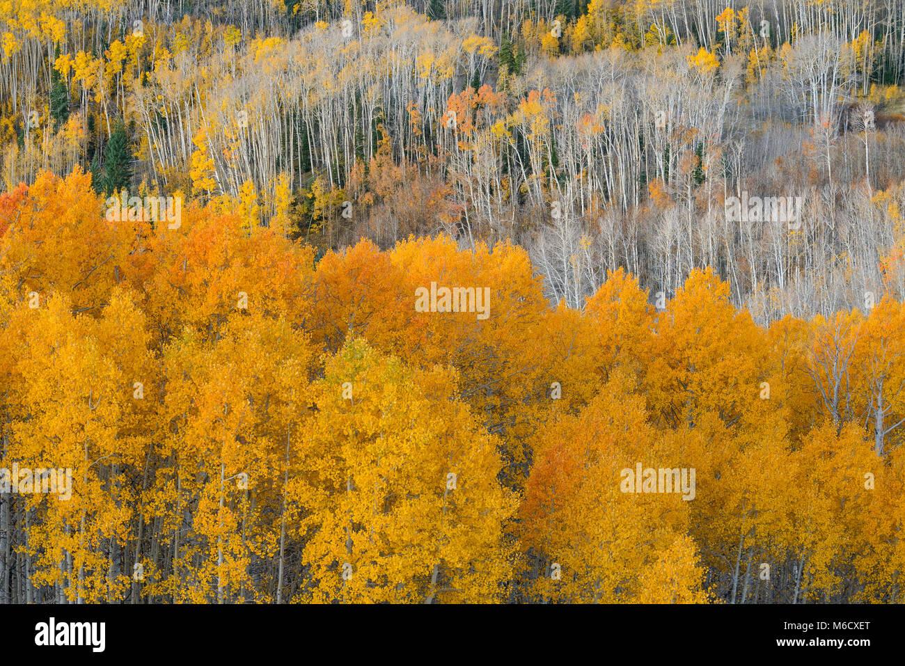 Aspen, Boulder Mountain, Dixie National Forest, Utah - Stock Image