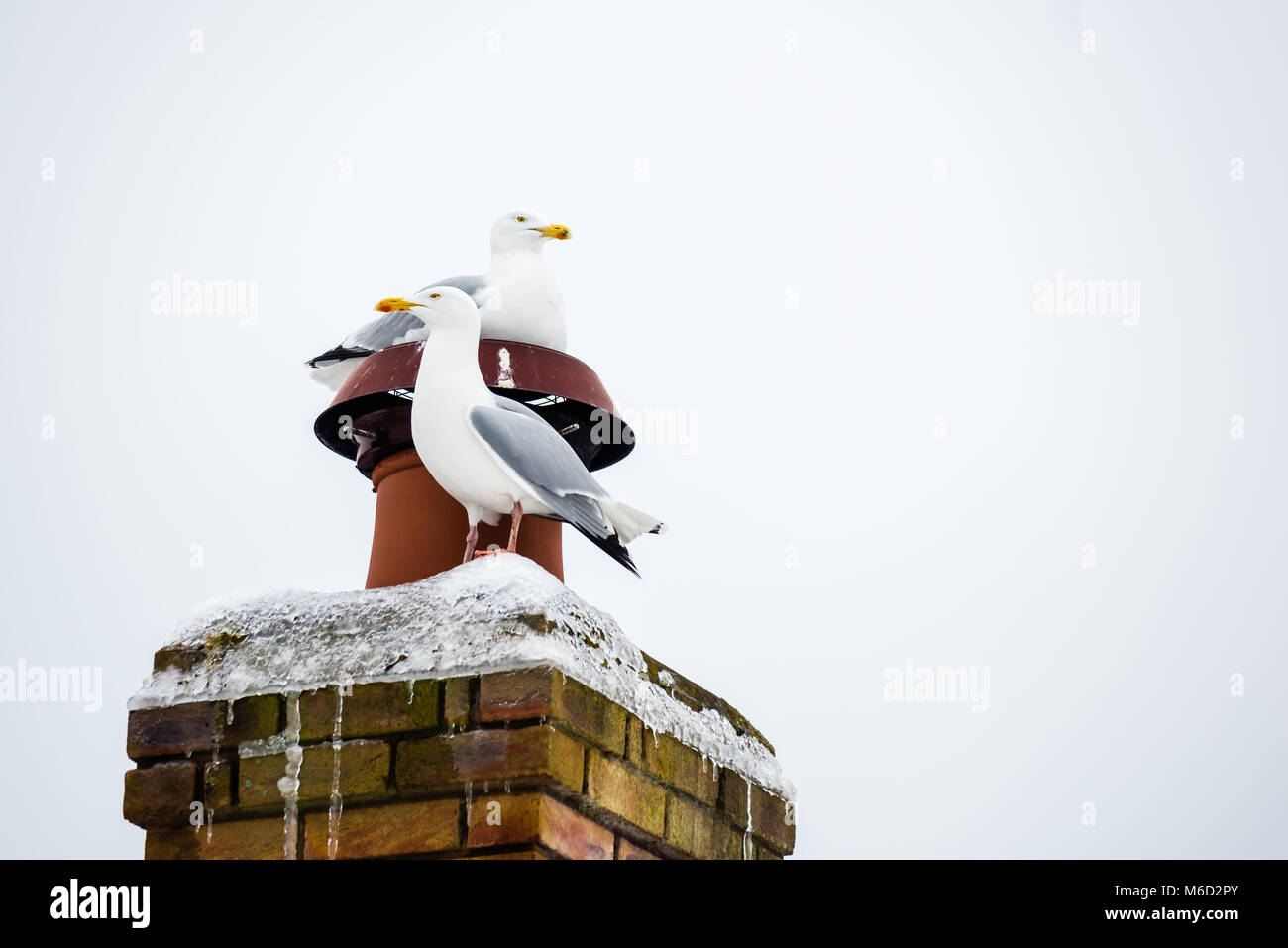 The warm chimney has certainly made these two seagulls very contented. - Stock Image