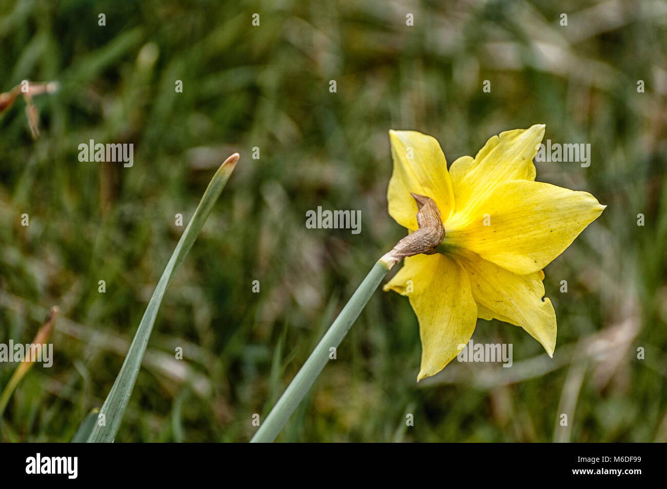 Yellow Flower Weed Stock Photos Yellow Flower Weed Stock Images