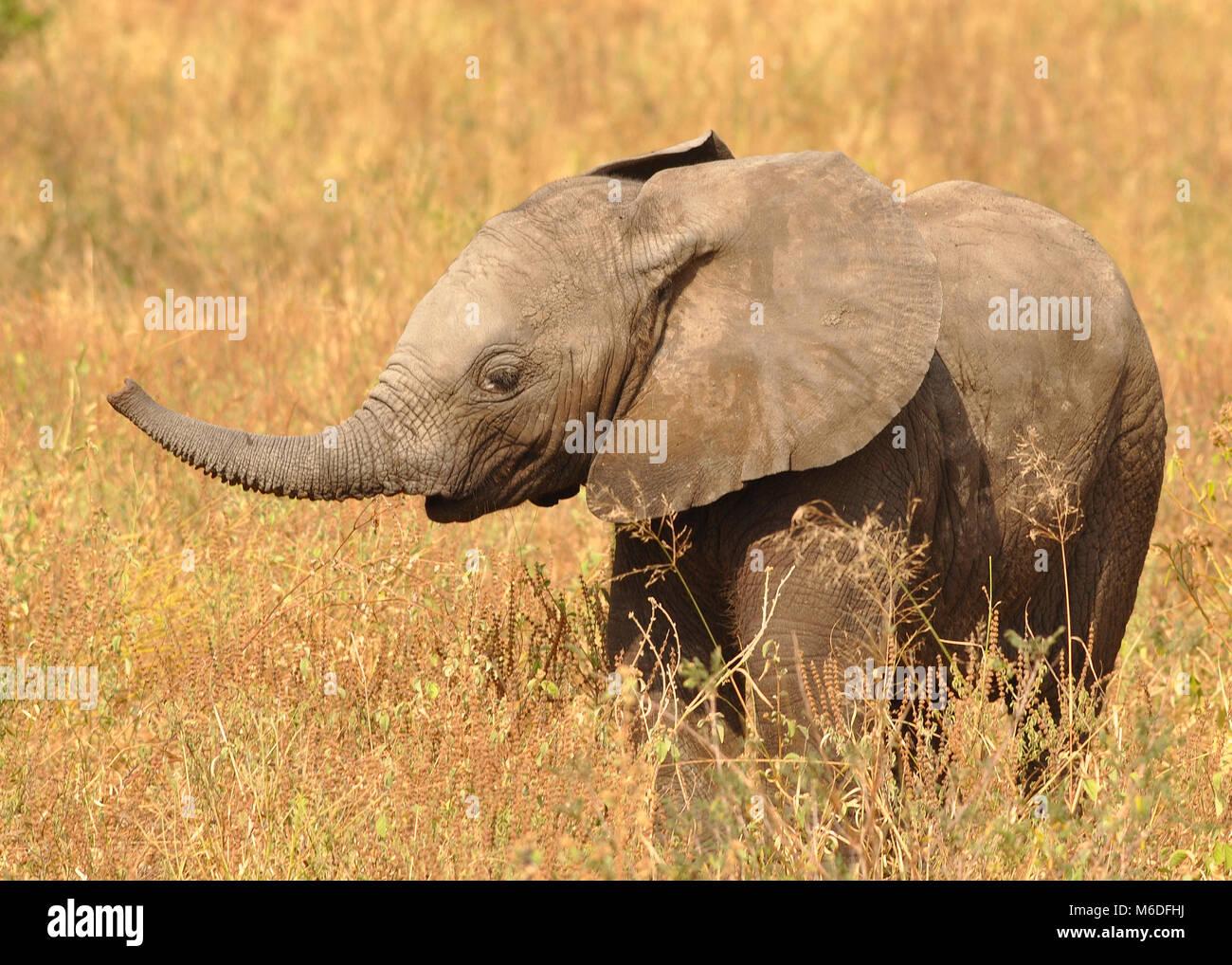 Baby Bush Elephant (Loxodonta africana) - Stock Image