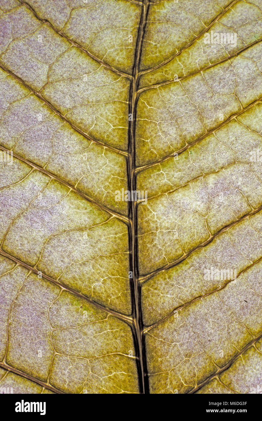 Leaf veins, green leaf, back lit - Stock Image