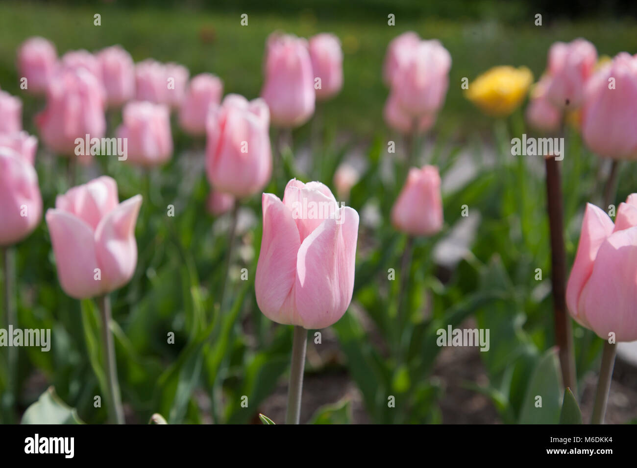 'Apricot Beauty' Single Early Tulip, Tidig enkel tulpan (Tulipa gesneriana) - Stock Image