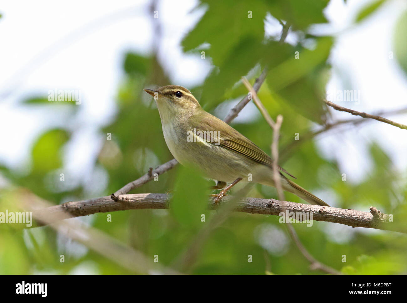 Kamchatka Leaf-warbler (Phylloscopus examinandus) adult perched on branch  Hebei, China       May Stock Photo
