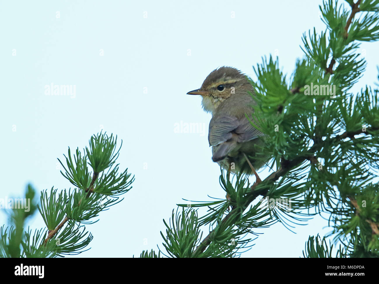 Yellow-streaked Warbler (Phylloscopus armandii) adult perched on top of conifer  Old Peak, Hebei, China       May Stock Photo