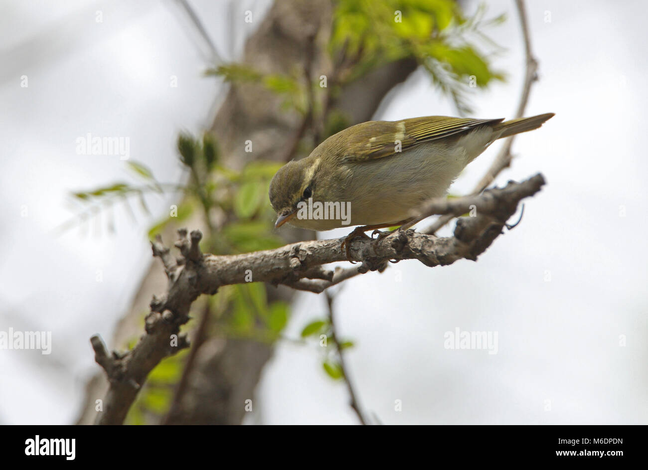 Two-barred Greenish Warbler (Phylloscopus plumbeitarsus) adult on dead branch  Hebei, China            May Stock Photo